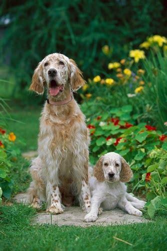 lemon setter dog 17 best images about english setter love on pinterest