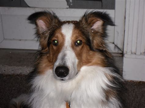 collie mix puppies for sale rocky sheltie collie mix breed puppy testimonial puppies for sale dogs for sale
