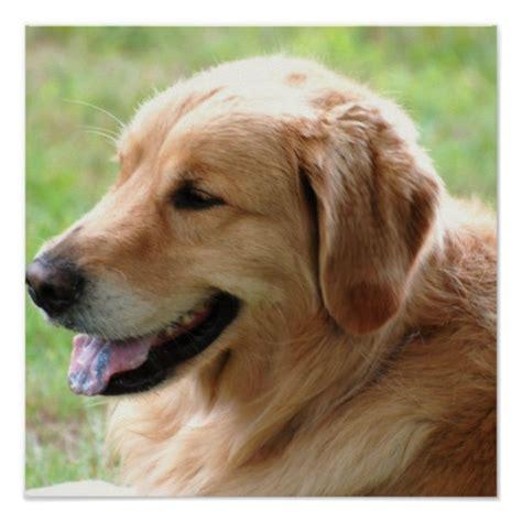 golden retriever posters golden retriever pup poster print zazzle