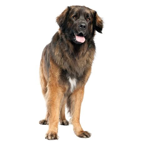 Berger Brown leonberger breed 187 everything about leonbergers