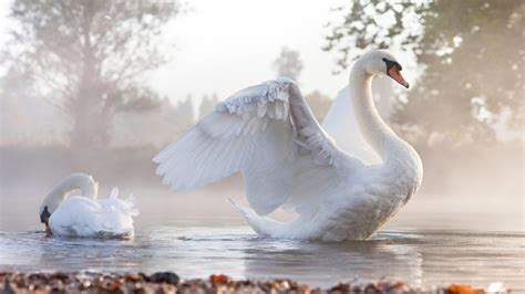 swan bird water morning fog beautiful hd desktopx wallpaperscom