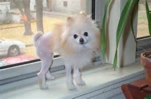 hair chihuahua haircut pictures of haircuts for long haired chihuahua long