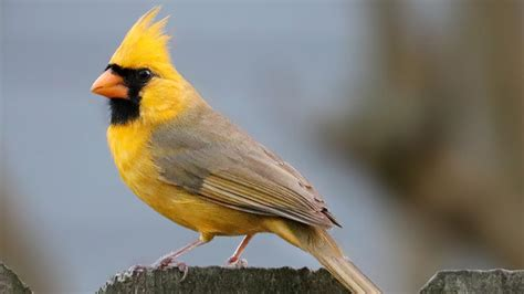 Biojanna 6 By A D Bird yellow cardinal shows up at a bird feeder in alabama