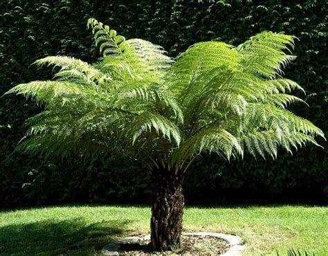 soft tree fern dicksonia antarctica  foot