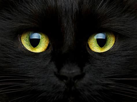 imagenes en negro de gatos 10 curiosidades y datos interesantes sobre los gatos negros