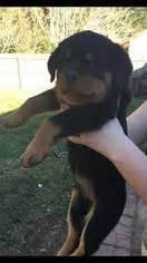 rottweiler puppies gainesville florida view ad rottweiler puppy for sale florida gainesville usa