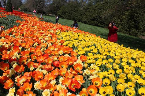 longwood gardens tulips spring into kennett square