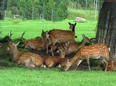 Deer With by Deer The Animals Kingdom
