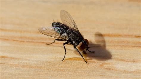 how to kill house flies kill house flies home remedies to get rid of house flies funbuzztime