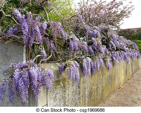 copy right free pictures of purple wisteria purple wisteria wisteria japonica growing along a fence in