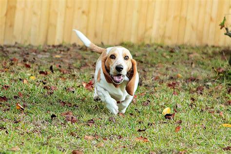 lemon basset hound puppies louie the lemon basset hound puppy 10 kevin amanda