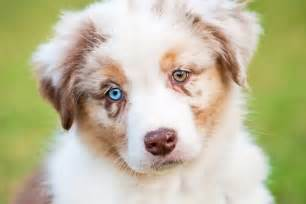 puppy eye color heterochromia two different colored allaboutvision