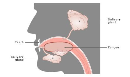 diagram of salivary glands what happens in the digestive system biology and