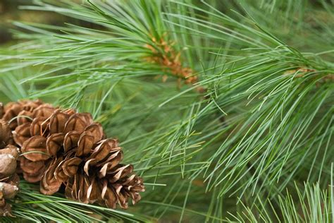 The Pine Tree tips for planting white pines care of white pine trees in