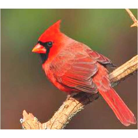 state bird of north carolina north carolina state bird birds love the small ones