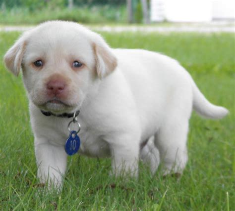 dudley lab puppies for sale the dudley labrador breeds picture