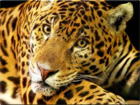 Photos Of Jaguar Wallpaper Animal Jaguar