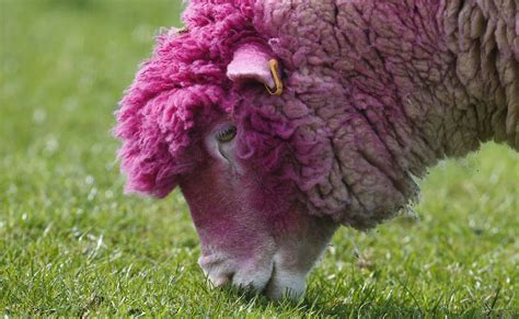 Sheep Pink manhattan cat cafe phelps returns to the pool teepees in the national mall april 24
