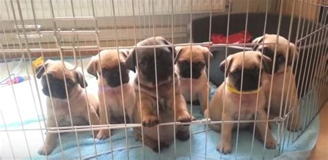 pug breeders nebraska these cutest pug puppies on are about to make your day