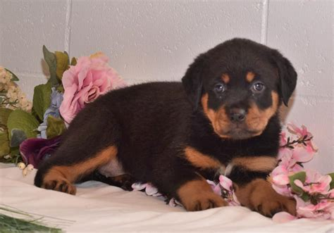 strong rottweiler beautiful and strong rottweiler puppies craigspets