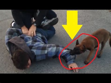 puppy k9 k9 puppy apprehends fleeing quot suspect quot and it s the cutest thing pawbuzz