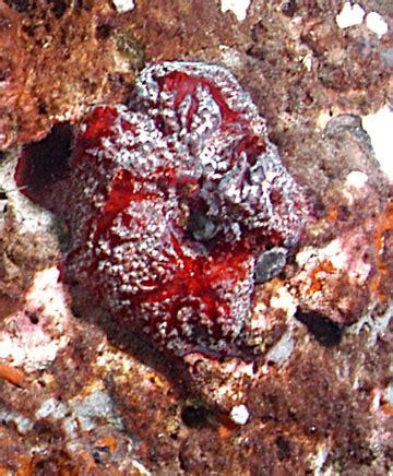 Strawberry Vase Sponge by Sponges Of Flower Garden Banks National Marine Sanctuary