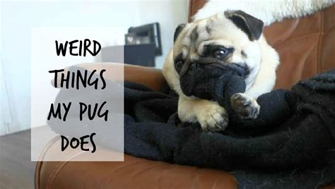 pug things things my pug does