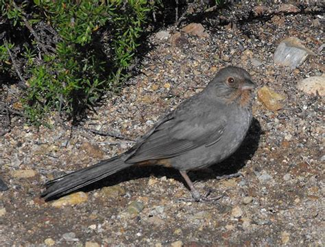 california towhee 187 bird watcher s digest