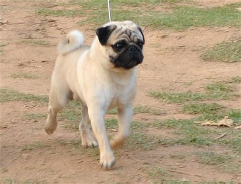 pug adults for sale pug puppies for sale fort worth breeds picture