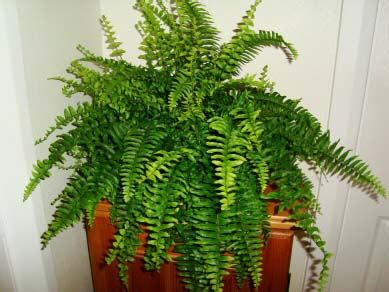 boston fern indoor plant in the white pot stunning indoor plants boston fern nephrolepis exaltata bostoniensis our