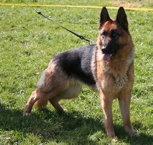 dogs for sale sacramento sacramento family protection dogs for sale trained german shepherds