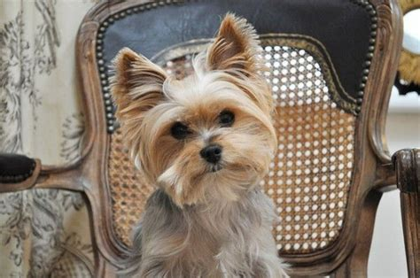 yorkie haircuts pictures only pin by troyce hayes on yorkies pinterest