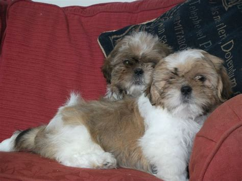 shih tzu puppies for sale in colorado shih tzu puppies for sale blairgowrie perthshire pets4homes