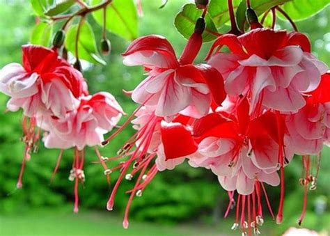 piante con fiori fucsia fucsia fucsia fucsia piante da giardino fucsia pianta