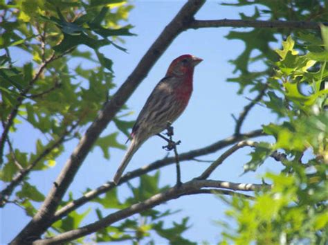 house finch care house finch care 28 images backyard birds utah 2017