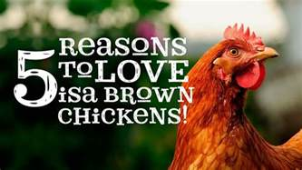 Backyard Chickens Coops by 5 Reasons To Love Isa Brown Chickens Youtube