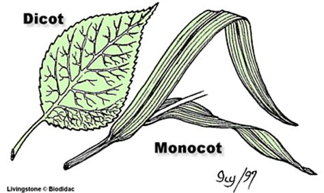 leaf pattern of dicots classification of organisms part one