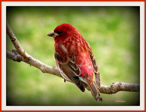 purple finch the purple finches have arrived at my
