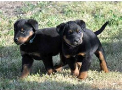 beauceron puppies for sale health akc looking beauceron for sale melton dogs for sale puppies for sale