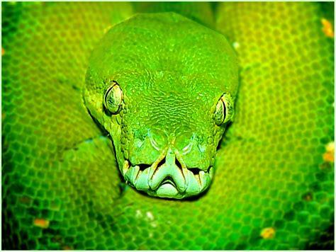 imagenes de serpientes verdes serpiente verde fotos formulatv
