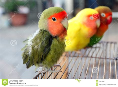 lovebird stock image image of adorable animals