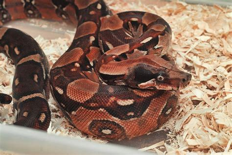 Boa Pastel 1 anyone any experience or about kubsch pastel boas