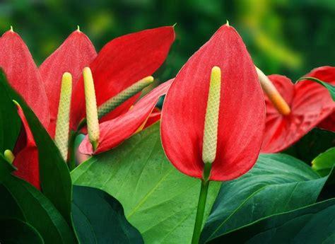 significato dei fiori anthurium anthurium rosa piante appartamento caratteristiche