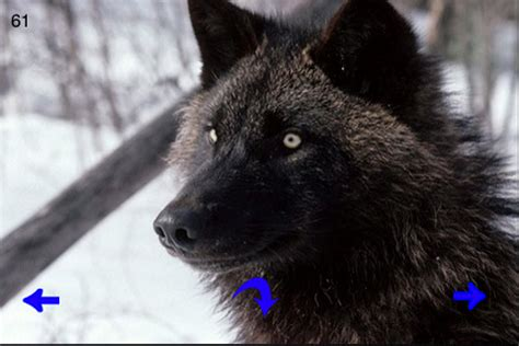 beautiful wolf wallpapers app  ipad iphone photo