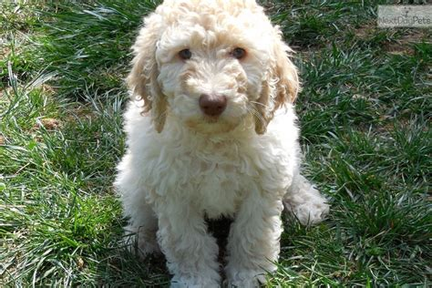 labradoodle puppies for sale near me labradoodle puppy for sale near san francisco bay area california 3a4b1a0f 53f1