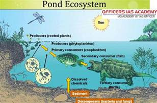 Freshwater Biome Essay by Pond Ecosystem Kullabs