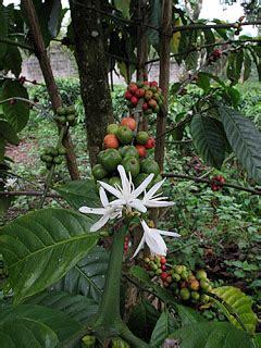 bercocok tanam kopi bab mengenal tanaman kopi