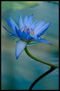 What Is Blue Lotus 2
