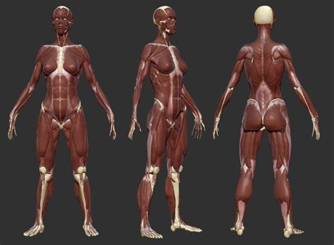 zbrush tutorial female body female body muscles anatomy references for artists