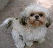 white shih tzu names white shih tzu dogs www pixshark images galleries with a bite